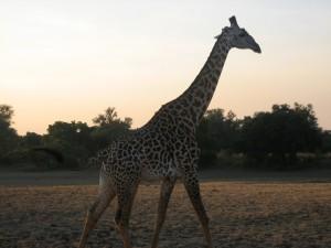 Giraffe in South Luangwa National Park